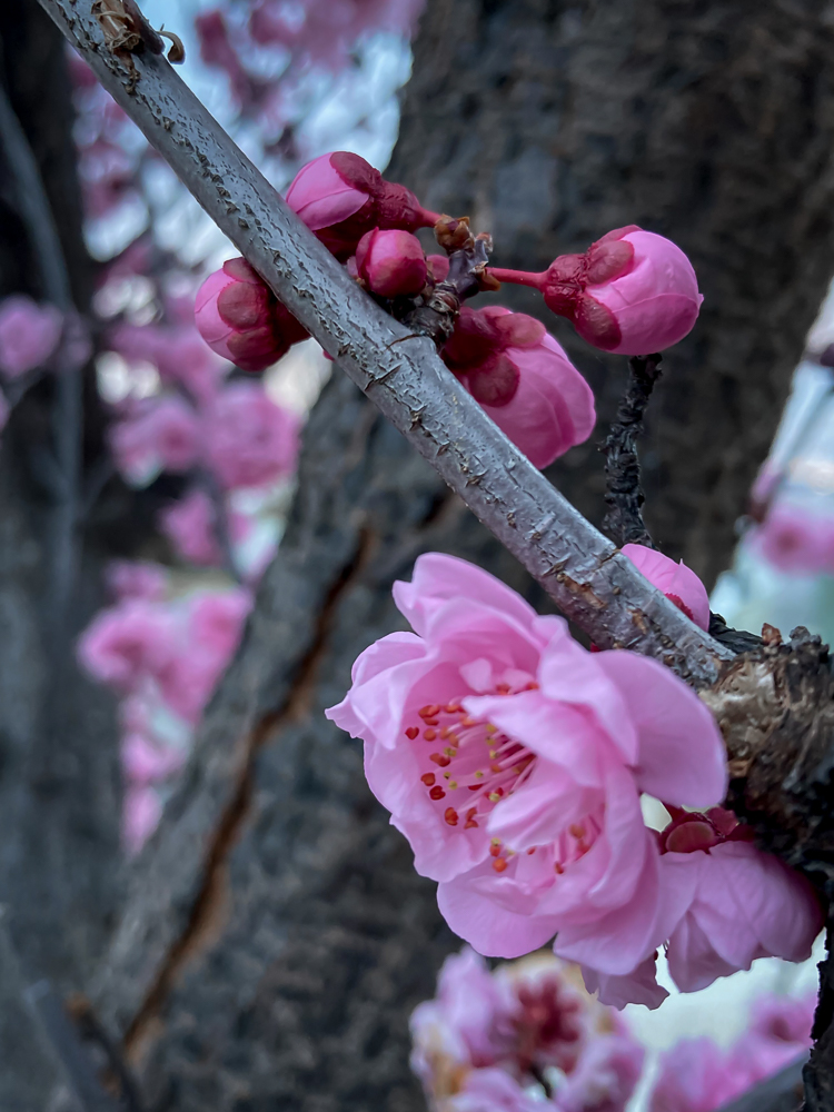 Cherry blossoms and buds on a tree