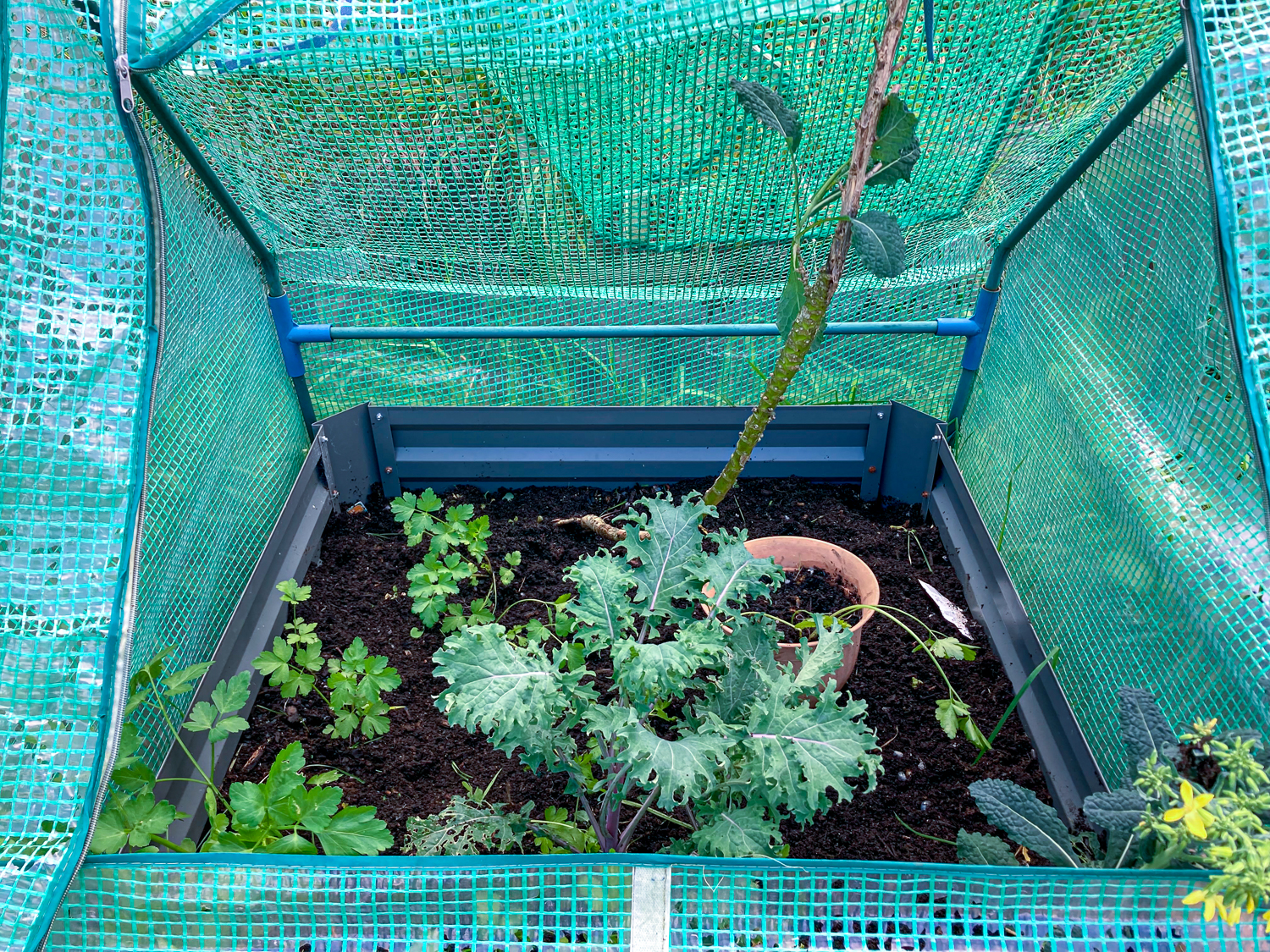 A weeded vegetable bed with parsley and two different types of kale