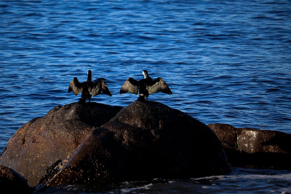 Two Little Pied Cormorants stretching their wings on a rock facing blue water of the river