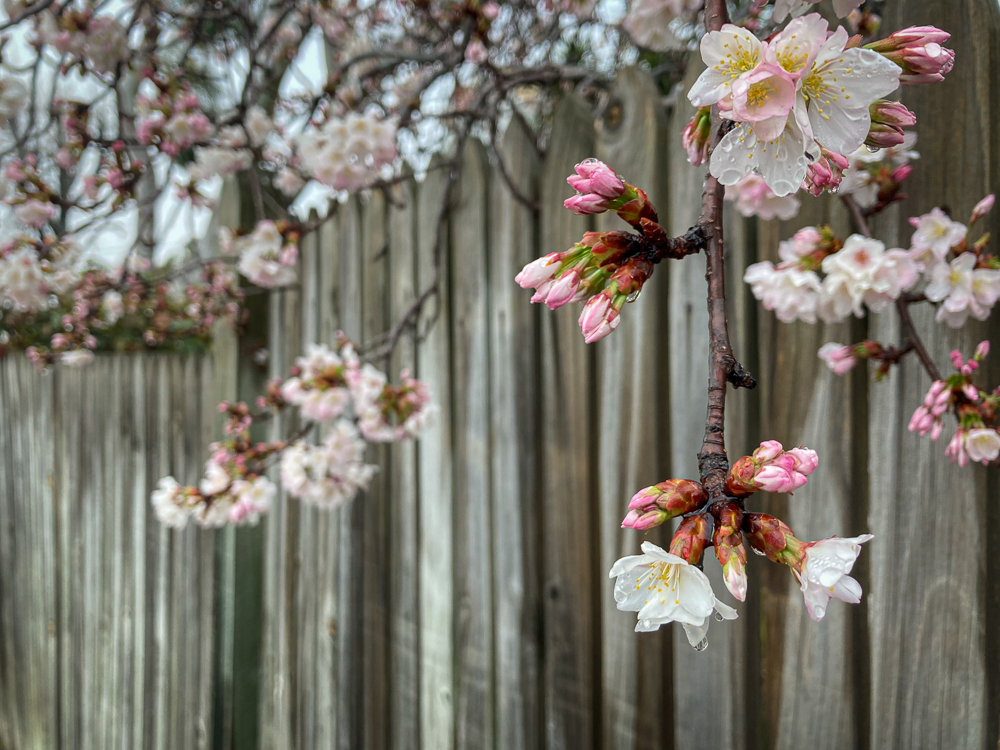Cherry blossoms on a fence